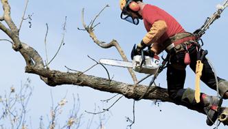 Bīstamo un nokaltušo koku zāģēšana